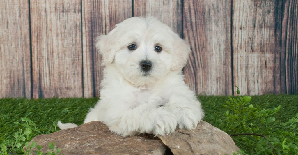 4 Best Foods for Your Maltipoo Puppy 2