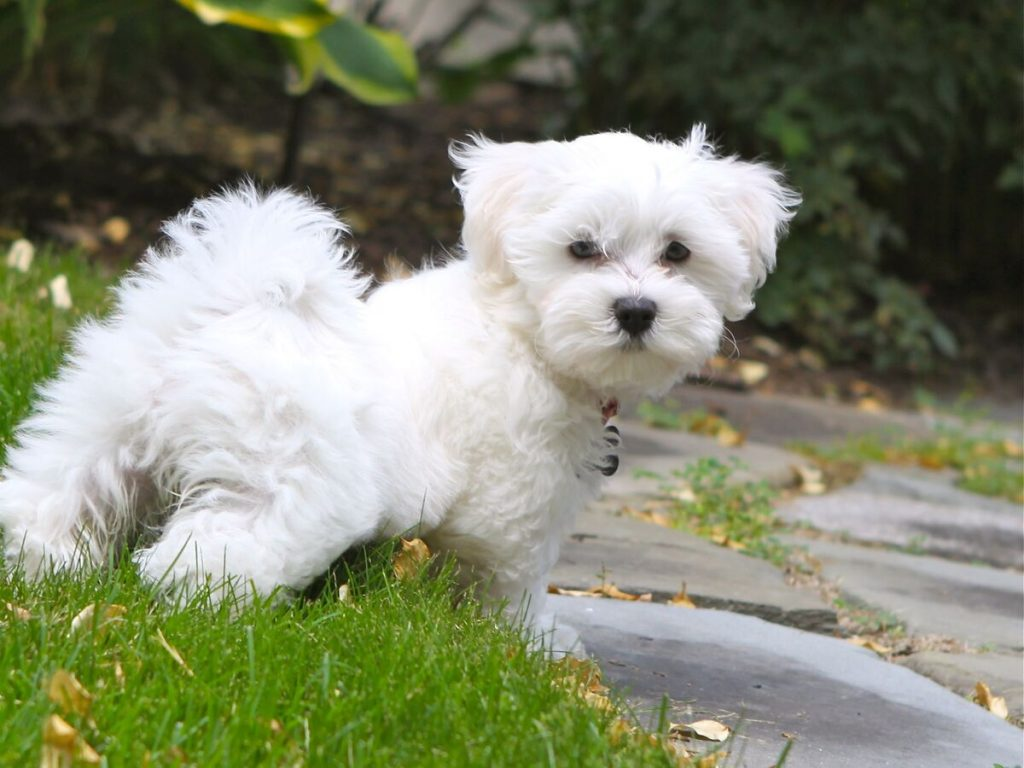 4 Best Foods for Your Maltipoo Puppy 5