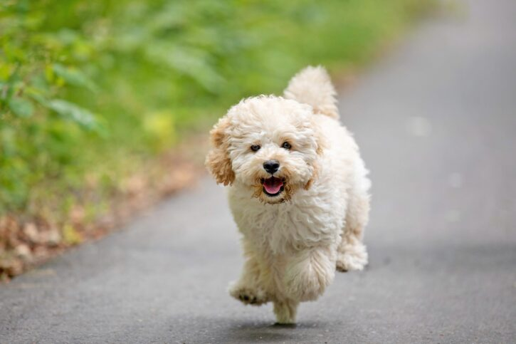 4 Best Foods for Your Maltipoo Puppy 10